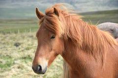 Stående av en isländsk häst Kastanj royaltyfri bild