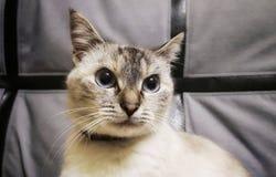 Stående av en katt Den Siamese katten ser mig den blåa katten eyes siamese Arkivbild