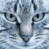 Stående av en katt, gröna ögon, närbild fotografering för bildbyråer