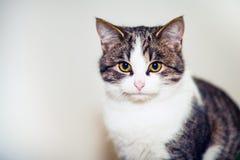 Stående av en katt med guld- ögon Fluffig huskatt Royaltyfria Foton
