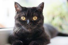 Stående av en katt Scotish Shorthair Sikten `-s-öga Royaltyfri Fotografi