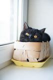 Stående av en katt Scotish Shorthair Sikten `-s-öga Arkivbild
