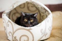 Stående av en katt skotte Shorthair, öga Royaltyfri Fotografi