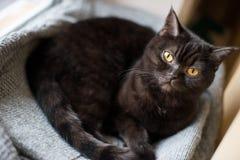 Stående av en katt skotte Shorthair, öga Royaltyfria Foton