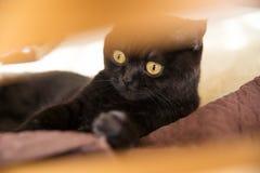 Stående av en katt skotte Shorthair katt Sikten av en katt Öga för katt` s Royaltyfria Foton