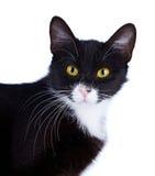 Ståenden av en svartvit katt med guling synar. Arkivfoto