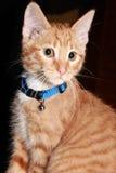 Stående av en Kitten Cat i blå krage Royaltyfri Fotografi