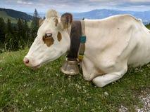 Stående av en ko Arkivbild