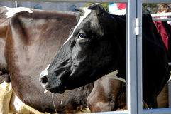 Stående av en ko Arkivfoton