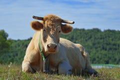 Stående av en ko med en koskälla som vilar i en äng arkivbild