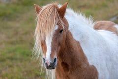 Stående av en kulör isländsk häst för härlig pinto royaltyfria foton