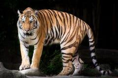 Stående av en kunglig Bengal tiger i Thailand Arkivfoto