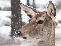 Stående av en kvinnlig hjort, medan det snöar royaltyfria foton