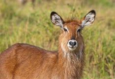 Stående av en kvinnlig waterbuck royaltyfri fotografi