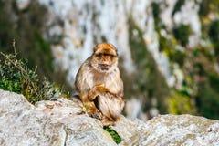 Stående av en lös kvinnlig macaque Arkivbilder