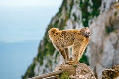 Stående av en lös kvinnlig macaque Arkivfoto