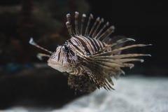 Stående av en lejonfisk royaltyfria foton