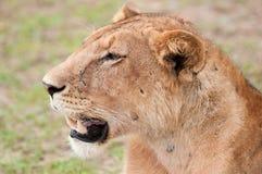 Stående av en lioness arkivbild