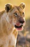 Stående av en lioness Närbild kenya tanzania Maasai Mara serengeti Royaltyfria Foton