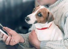 Stående av en liten hund Jack Russell Terrier som sitter på varven av en vuxen manlig ägare, medan han använder en smartphone arkivbilder