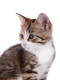 Stående av en liten kattunge. Royaltyfri Fotografi