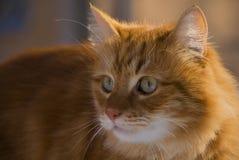 Stående av en ljust rödbrun katt arkivbilder
