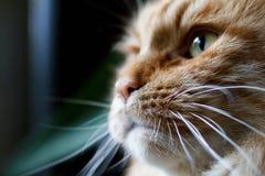 Stående av en ljust rödbrun katt i profil Arkivfoto