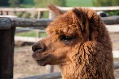 Stående av en Llama Royaltyfri Foto