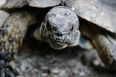 Stående av en mörk brun landsköldpadda arkivfoto