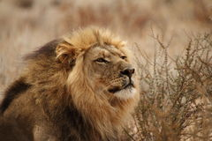 Stående av en male lion 4 Arkivfoto