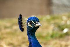 Stående av en male påfågel royaltyfri bild