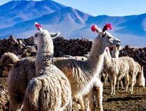 Stående av en man och en kvinnliglamanärbild Inhemsk lama Gulliga djur Royaltyfria Foton