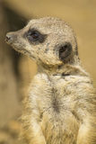 Stående av en meerkat Arkivfoto