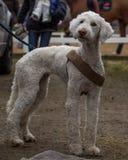 Stående av en mycket gullig och fluffig Bedlington terrier Royaltyfri Foto