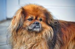 Stående av en mycket ledsen lurvig röd pekineshund royaltyfria bilder