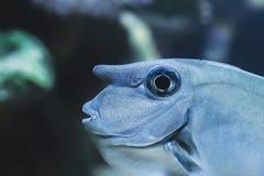 Stående av en nasounicornisfishbase fotografering för bildbyråer