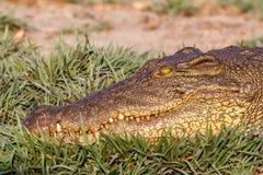 Stående av en Nile Crocodile Arkivfoton