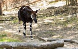 Stående av en okapi från familjen av giraffet Arkivbild