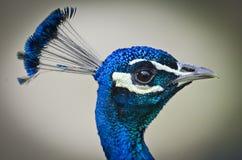 Stående av en påfågel Arkivbilder