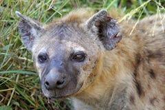 Stående av en prickig Hyena Arkivfoto