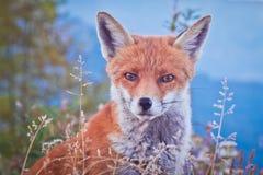Stående av en räv: en vänlig kuggfråga Arkivfoton