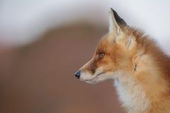 Stående av en röd räv Fotografering för Bildbyråer