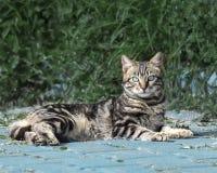Stående av en randig fluffig kattunge för härliga grå färger med blåa ögon som ligger mot en grön buske och ser in i kameran arkivfoto