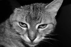 Stående av en randig inhemsk katt royaltyfria bilder