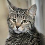Stående av en randig katt Arkivfoton