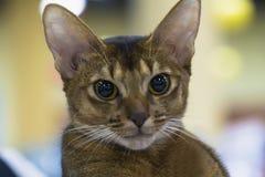 Stående av en rolig smart Abyssinian katt Arkivfoton