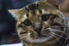Stående av en rolig smart Bengal katt arkivfoto