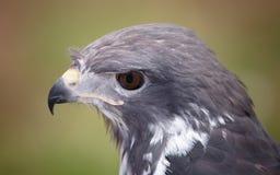 Stående av en rovfågel Arkivbilder