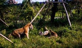 Stående av en rytande Pantheratigris för Siberian tiger altaica Royaltyfri Fotografi