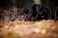 Stående av en SAD rottingcorsohund Fotografering för Bildbyråer